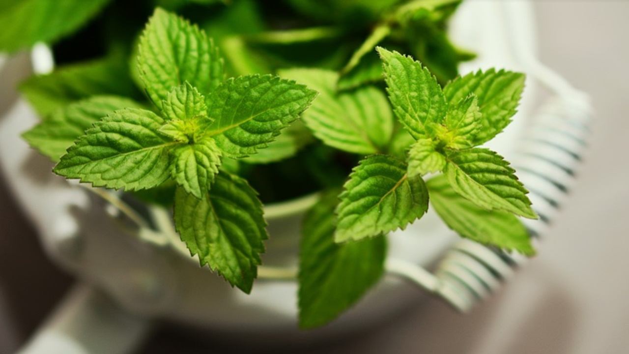 Peppermint is a natural health plant