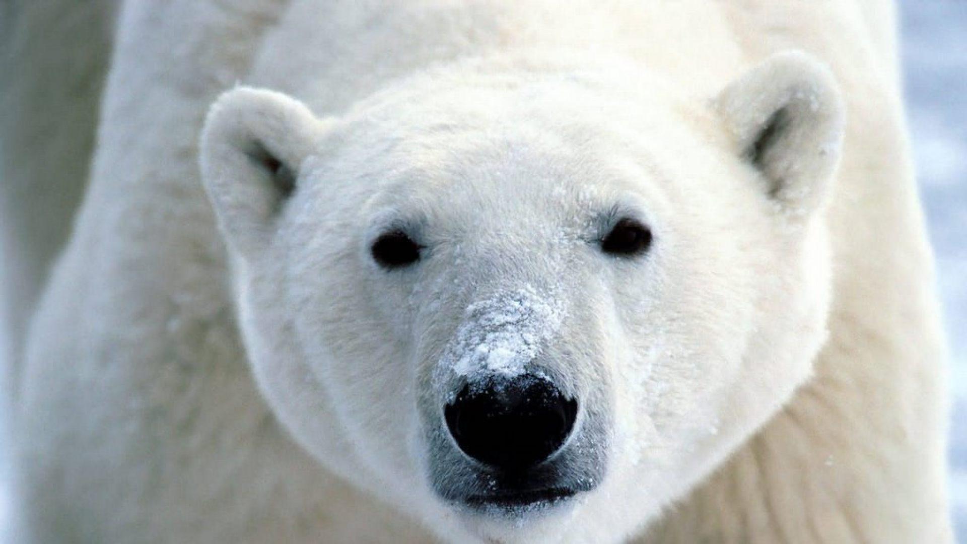 Los osos son los principales dispersores de semillas en Alaska , no los pájaros