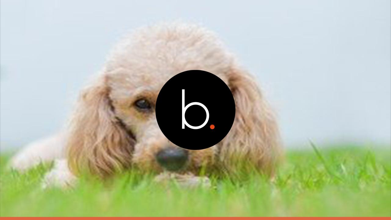 Você já tem um Poodle ou deseja ter, então você precisa ler esse artigo