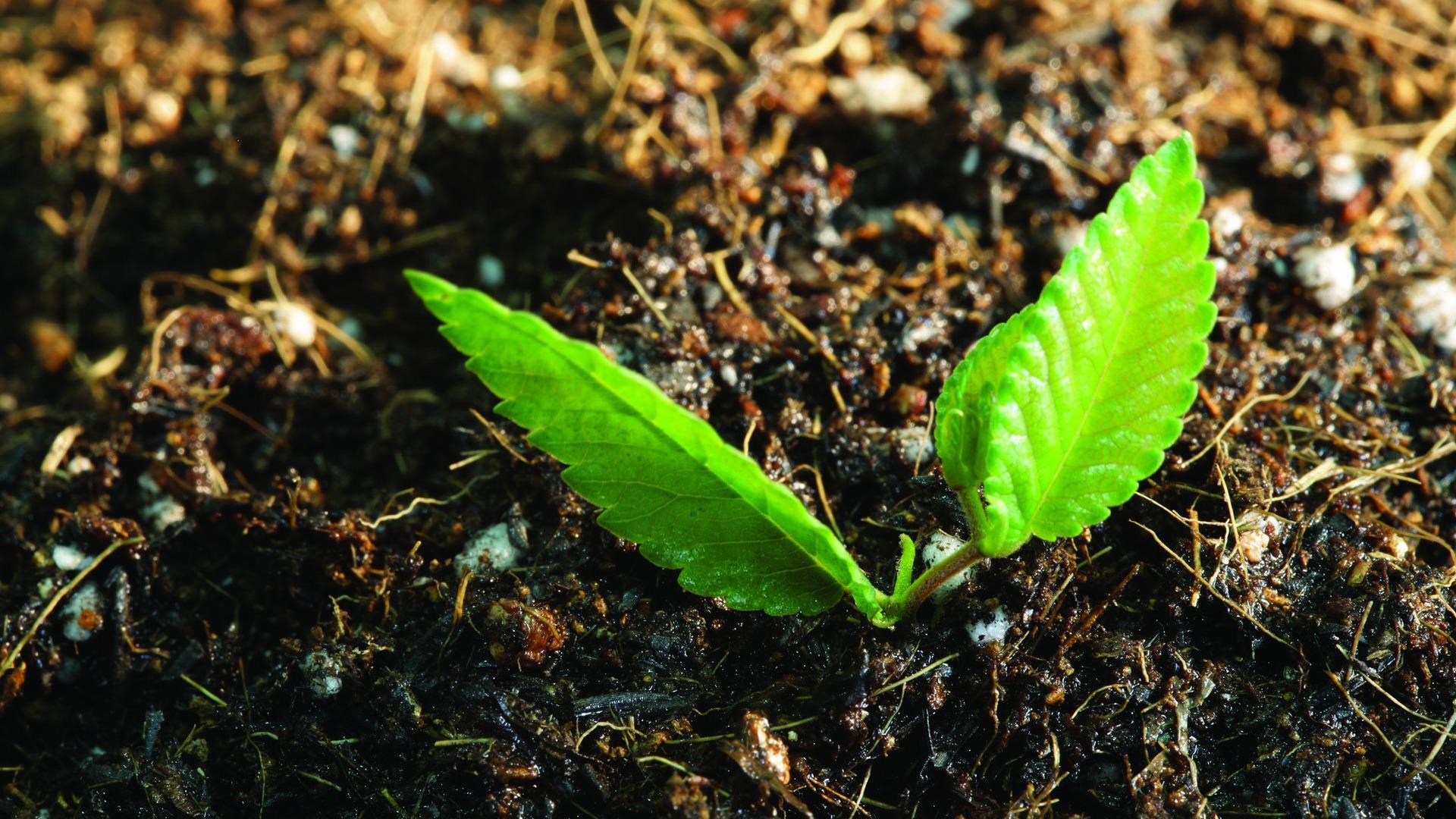 Cómo las plantas 'se levantan' contra las bacterias en el frío