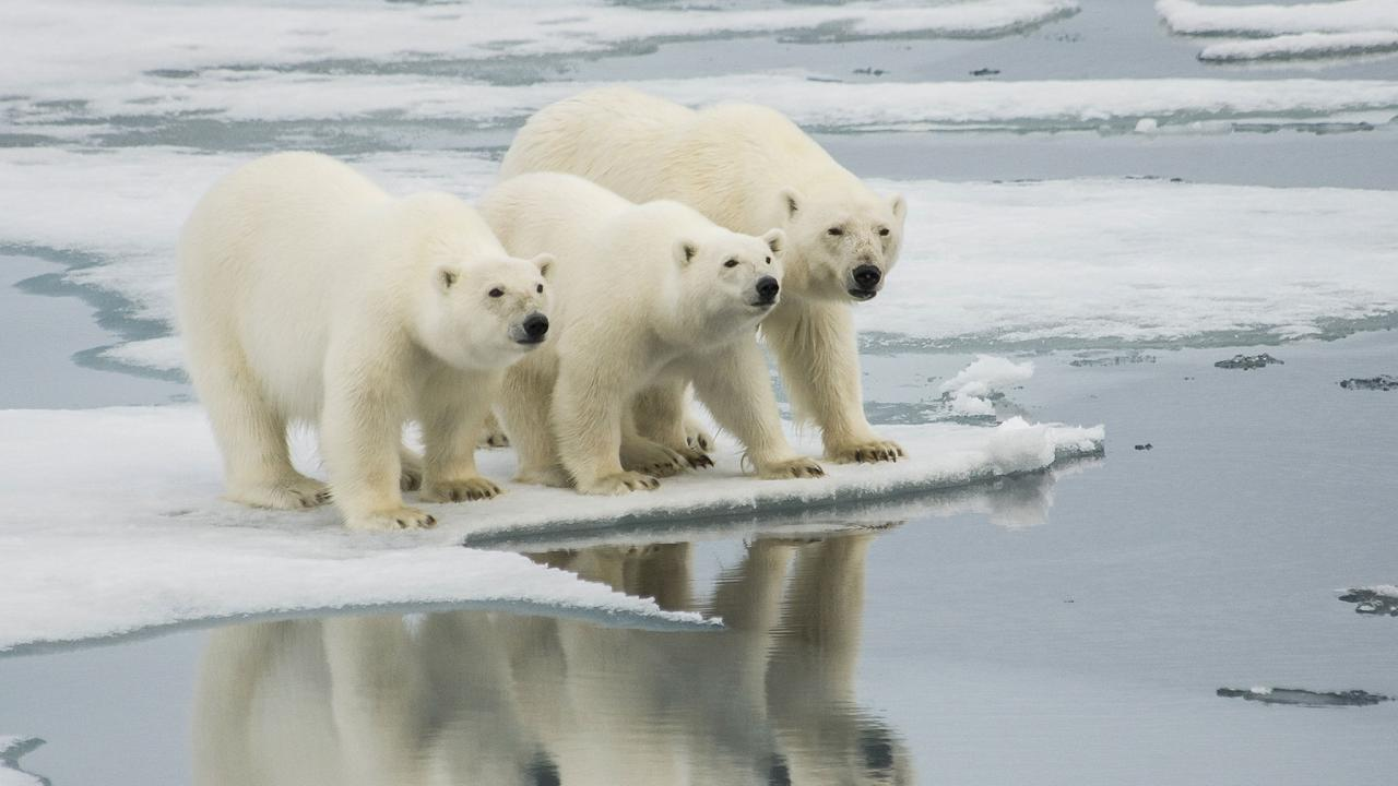 Arctic polar bears are starving because of climate change