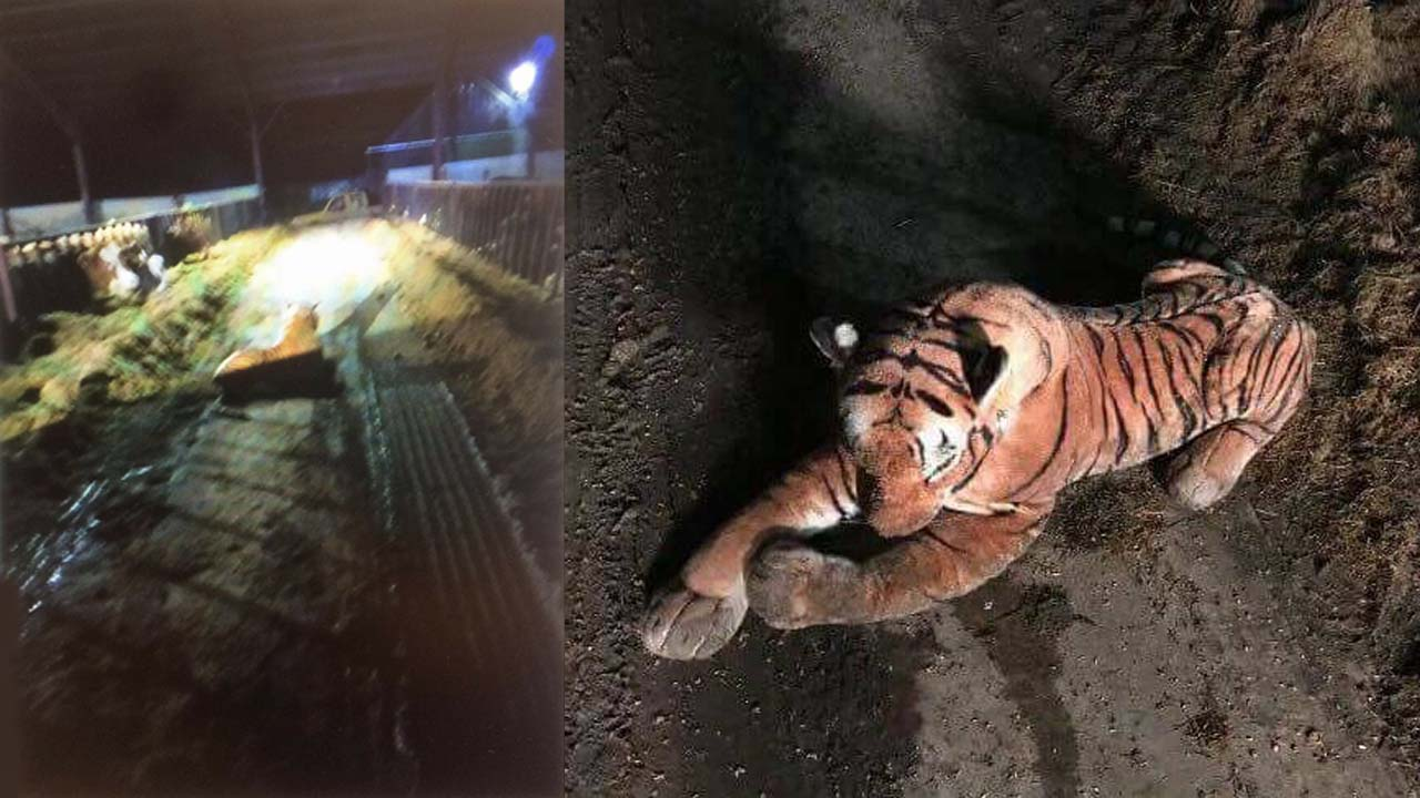 Cops red-faced after 45-minute armed standoff with stuffed tiger