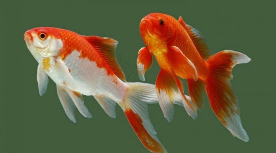 Datos interesantes sobre peces de colores