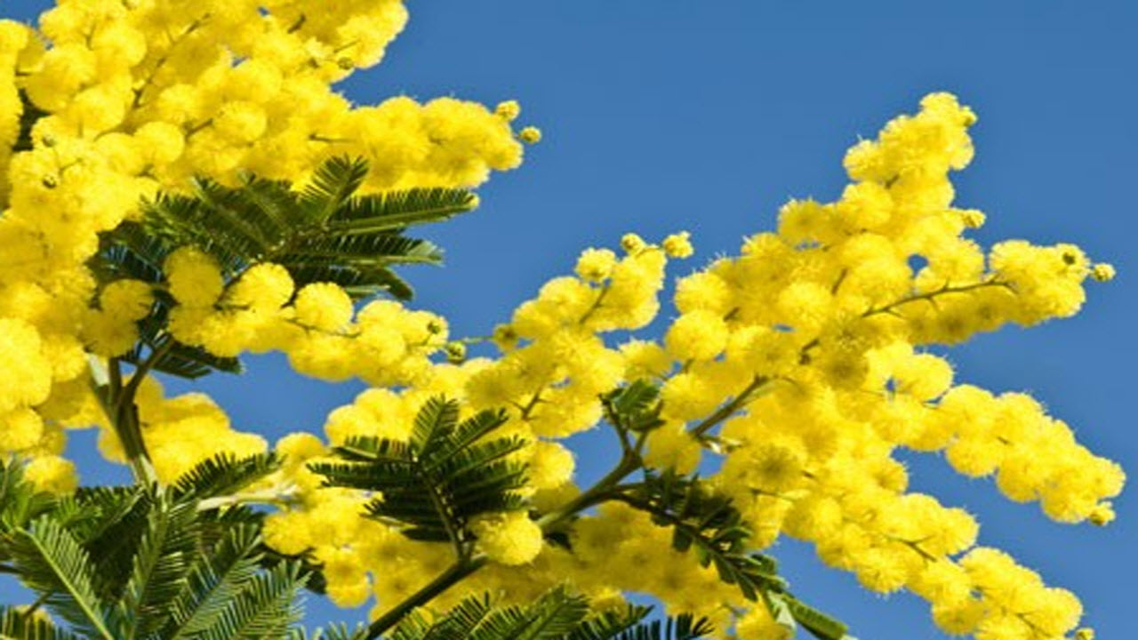 Festa della donna quanto costa una mimosa for Quanto costa una successione