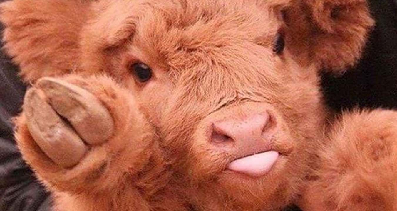 Cute cow photos show they are just as adorable as dogs