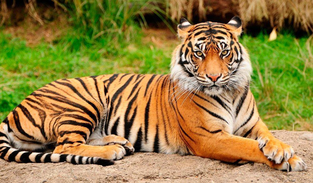 Proteger a los tigres podría ser beneficioso para sus presas