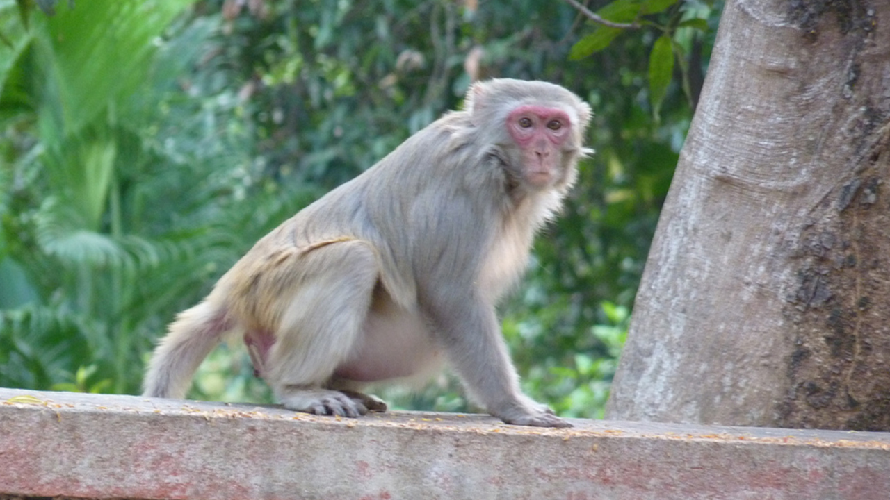 Macaco é procurado pela polícia por sequestrar bebê