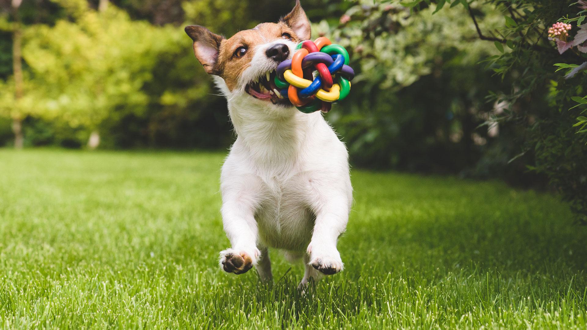 Vivir con perros puede ayudar al sistema inmunológico de los niños