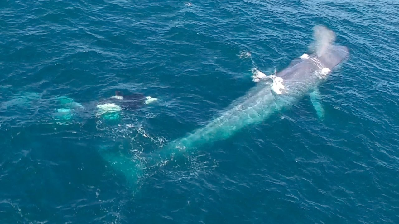 Asesisan a 333 ballena diciendo que era una matanza necesaria