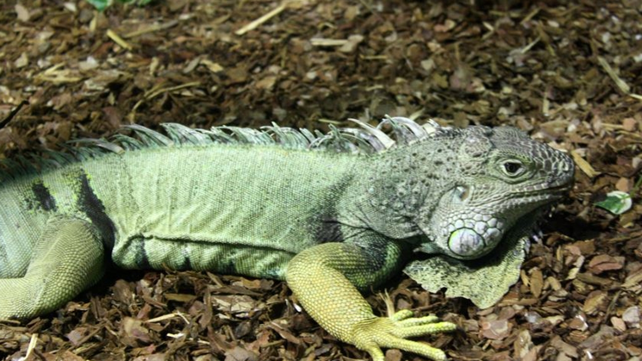 Florida residents try to control exploding iguana population as damage rises