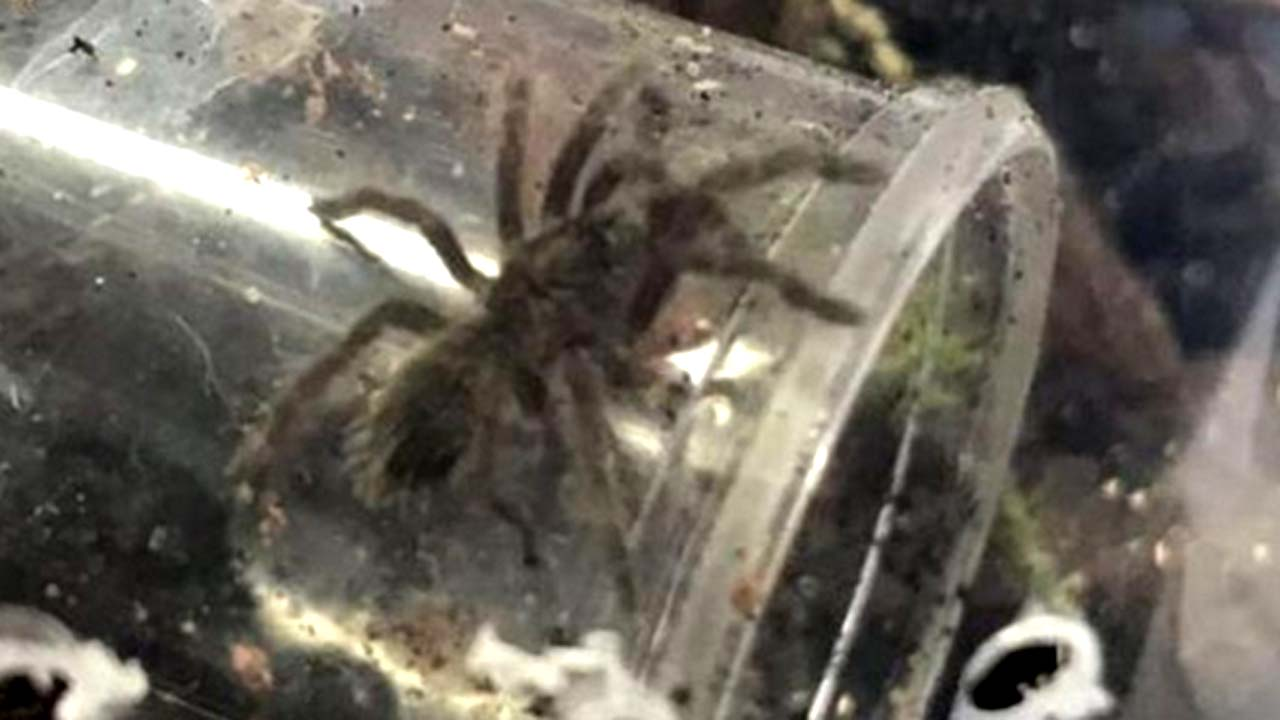 Two bird-eating tarantulas may be on the loose in Derbyshire village