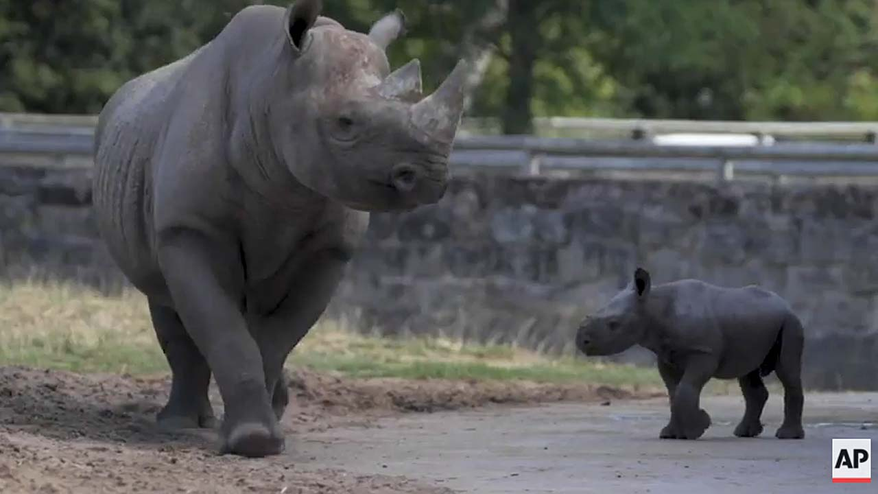 Rare baby black rhino ventures out for first time at Chester Zoo