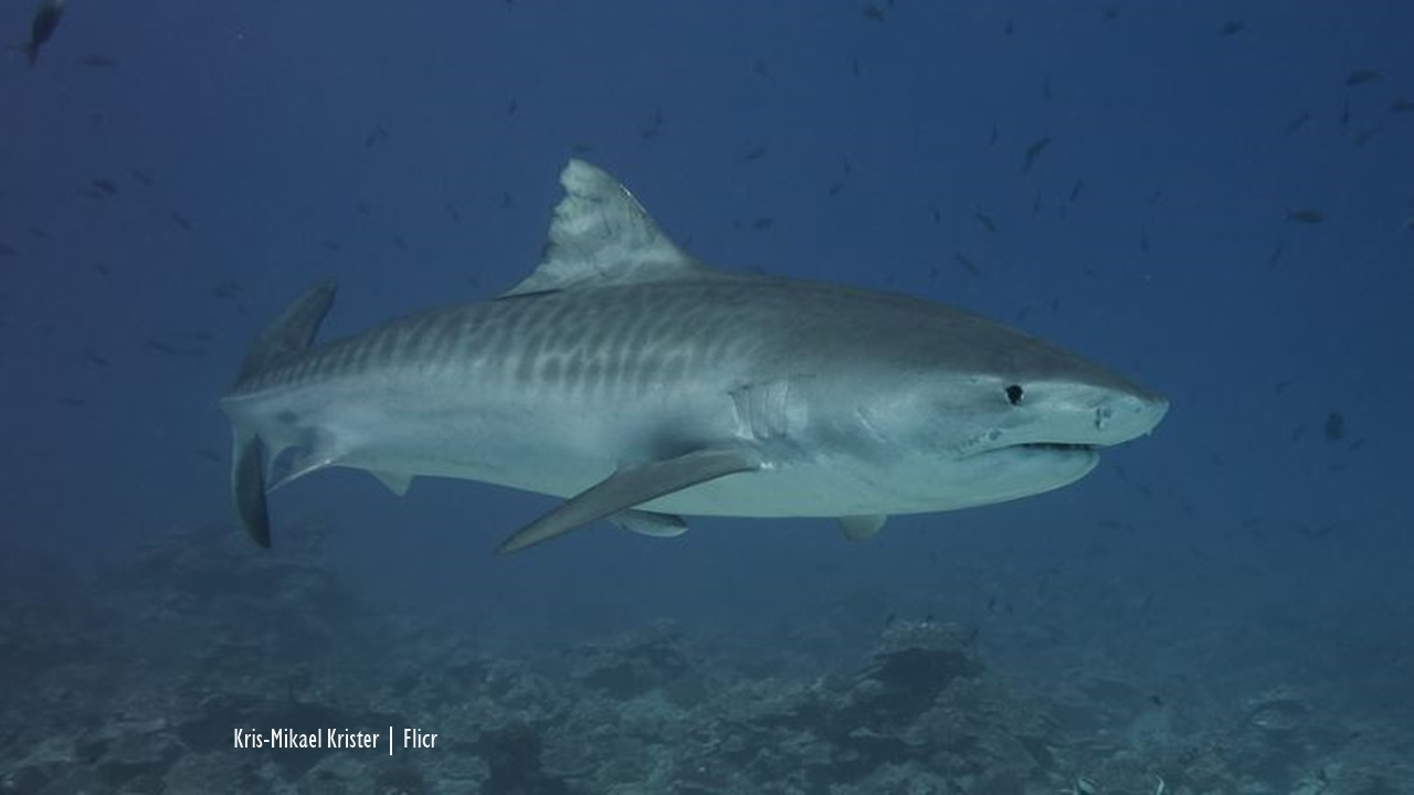 Madagascar: Tiger shark tagged in Mozambique now east of Madagascar