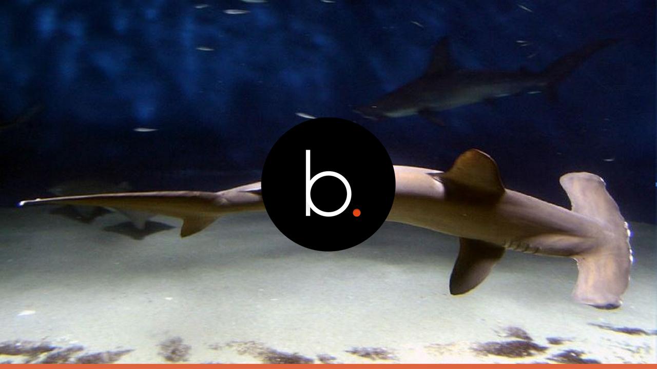 Scoperto uno squalo quasi vegetariano: la sua dieta è fatta dal 60% di alghe