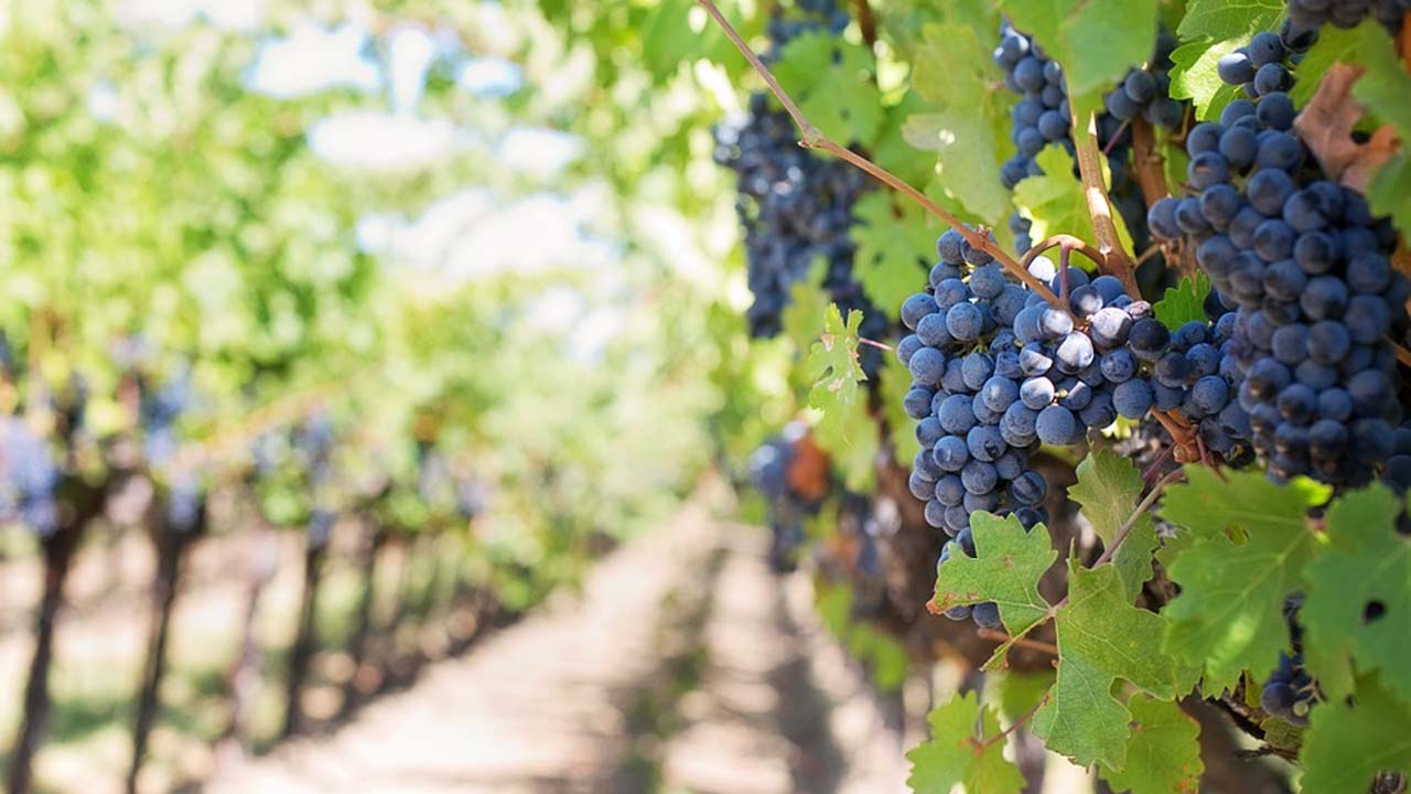 US vineyard stripped of its entire harvest overnight