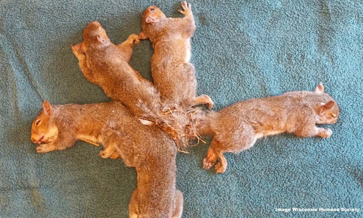 Wisconsin Humane Society help 5 squirrels whose tails were tangled together