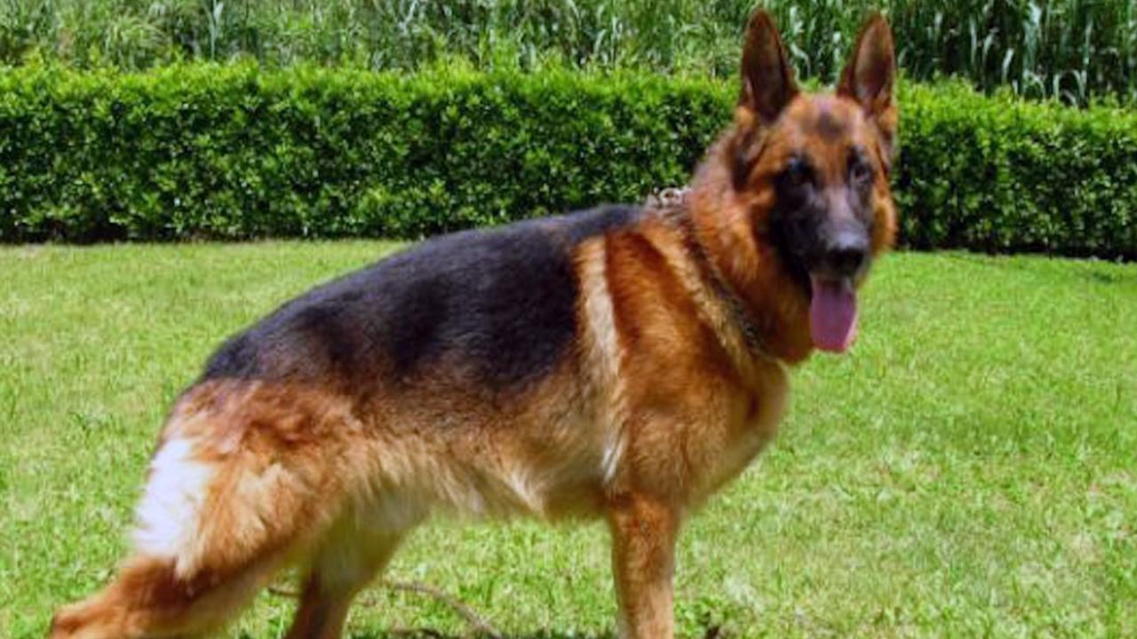 Monza: il cane poliziotto ha un nome 'fascista', proteste dal Pd