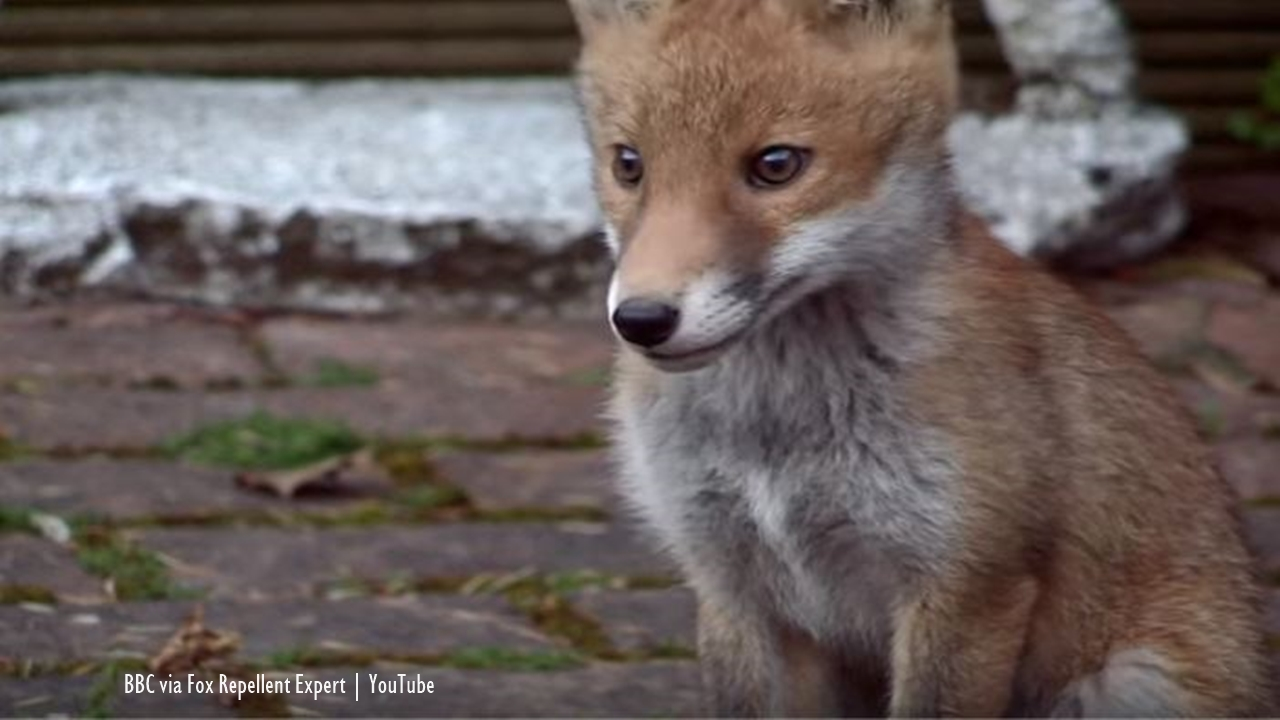 London: Police in the UK identify Croydon Cat-Killer as scavenging foxes