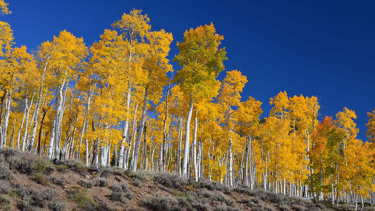 Utah's Pando aspen clone is facing extinction