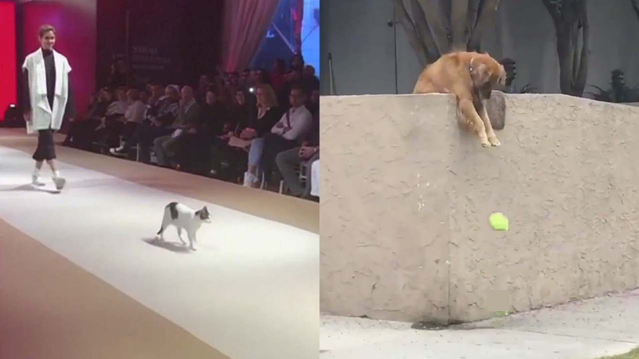 Cat takes up modelling while a dog just wants to play ball