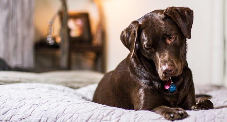 Cinco alimentos tóxicos para los perros