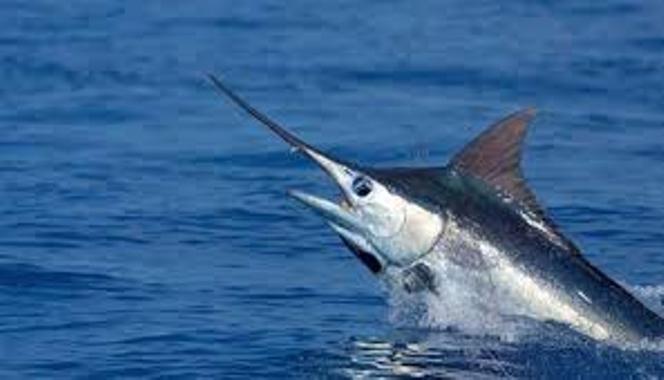 El pico del pez espada puede tener una longitud considerable