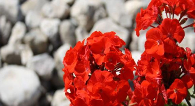 Flores que dever ser cultivadas durante o Outuno