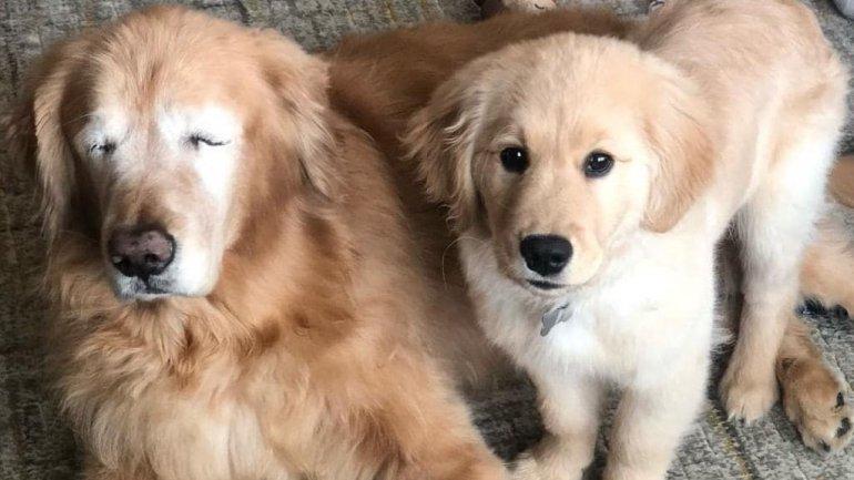 Cão cego ganha outro cachorrinho para 'cão-guia' e se tornam sensação do Instagram