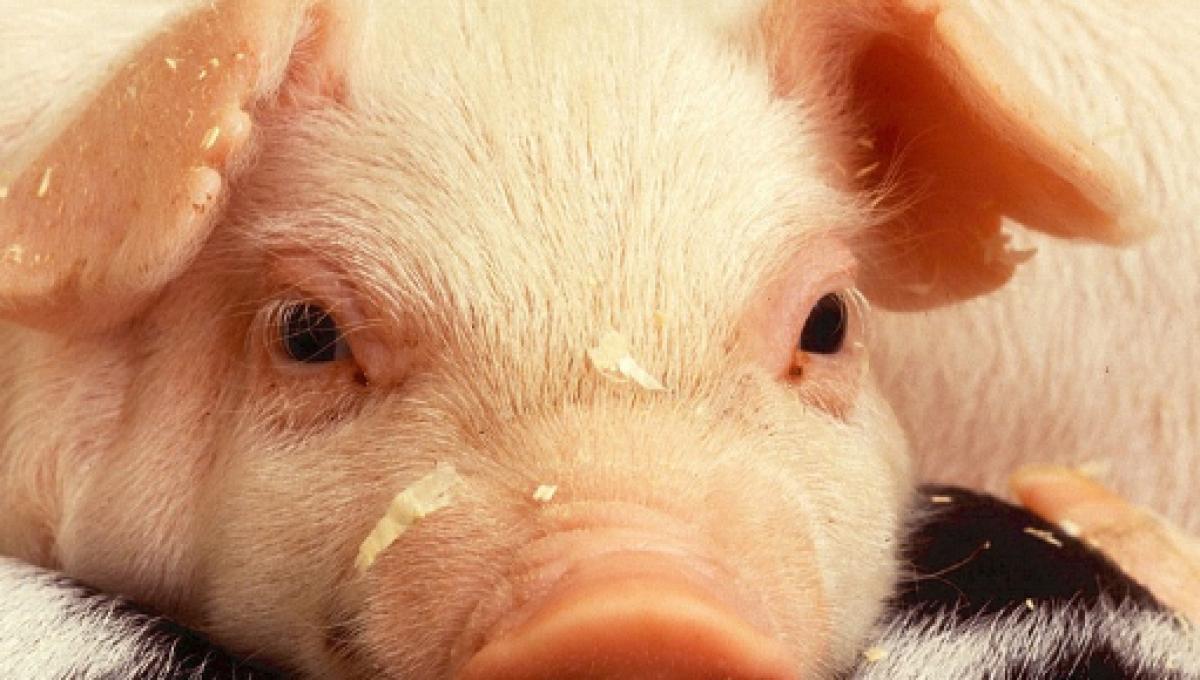 Riattivato il cervello di un maiale a 4 ore dalla morte
