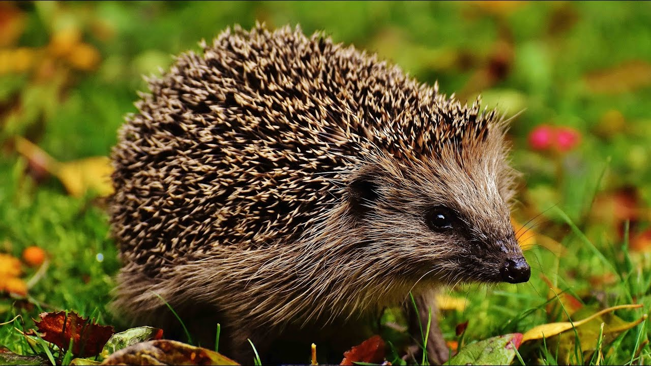 Keeping your hedgehog healthy and happy