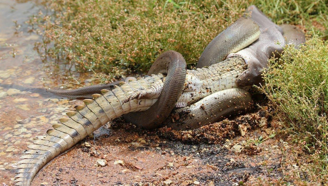 Sequência de imagens mostra píton engolindo crocodilo inteiro na Austrália