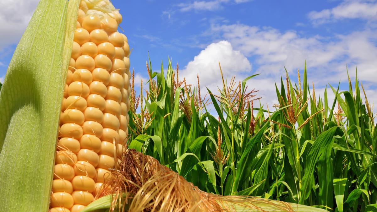 Brasil alcanza récord en la producción de maíz durante primer semestre de 2019