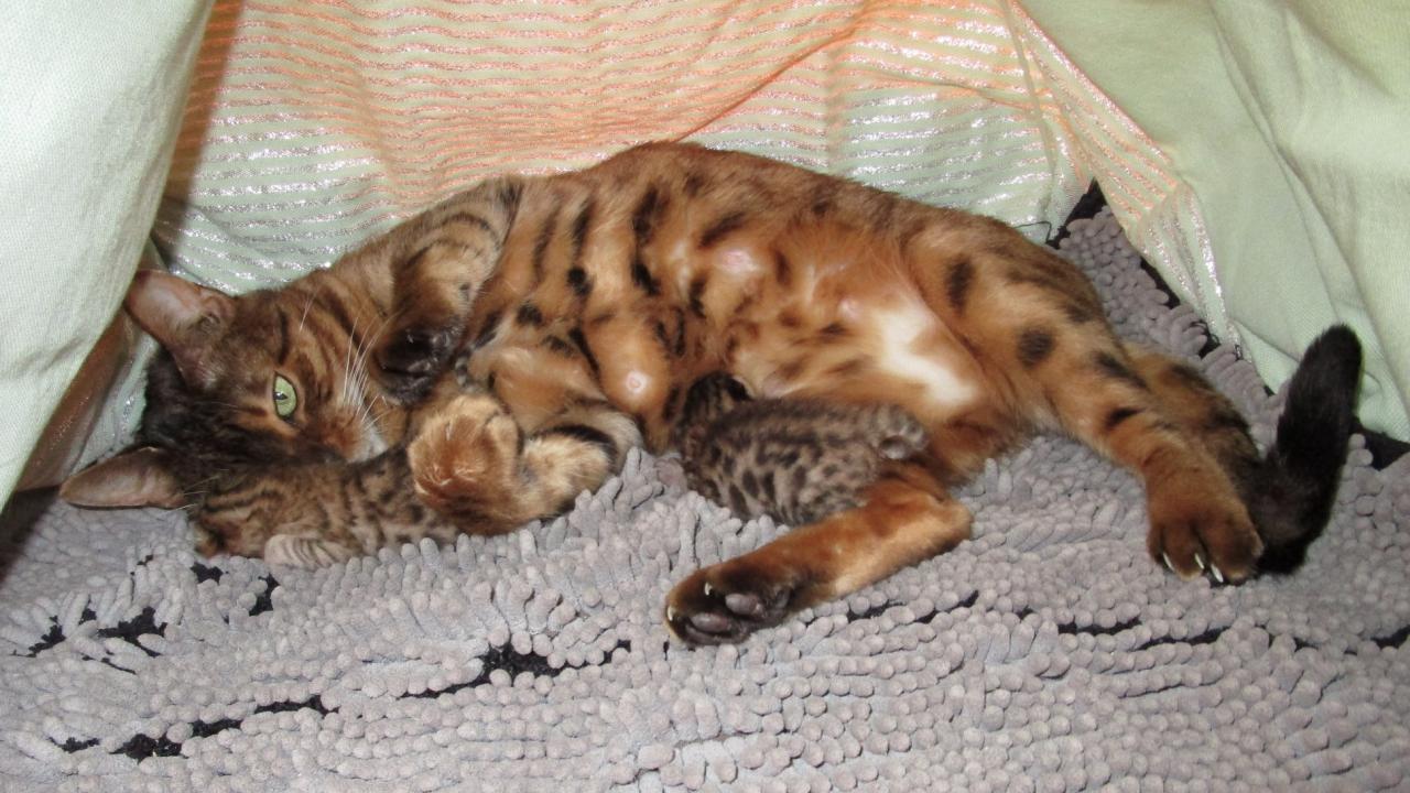 Narnia ce chat double face qui fait le buzz sur internet