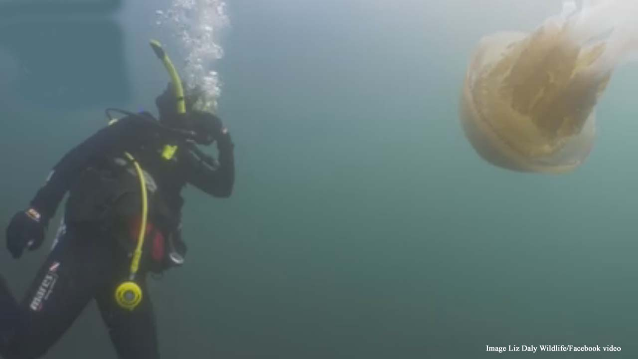British diver has experience of a lifetime, swimming with a giant jellyfish