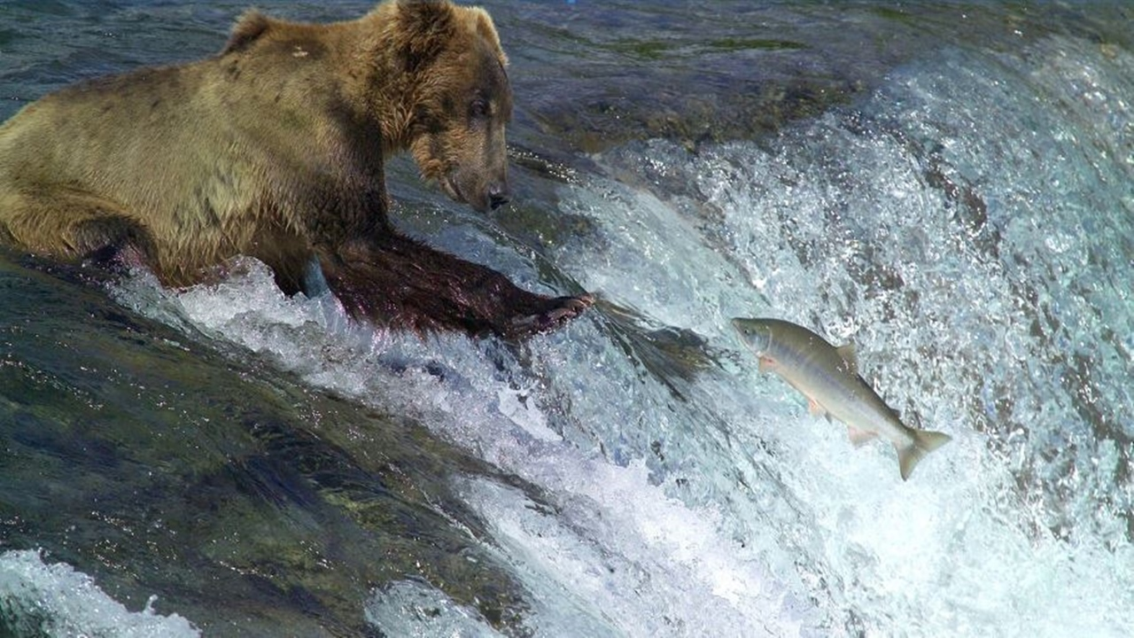 Alaska: Salmon die-off attributed to high water temperatures
