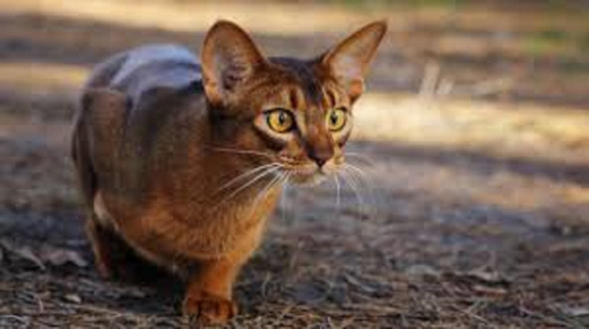La personnalité du chat serait proche de celle du lion d'Afrique